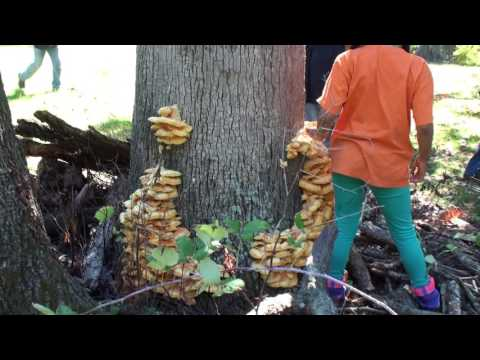 Chicken of the Woods Growing From a dead Ash Tree in Ohio.