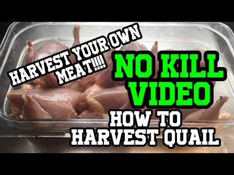 How to Butcher quail (no dispatch)