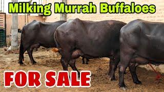 FOR SALE - 3 Beautiful Murrah Buffalo at a Dairy Farm in Bhiwani
