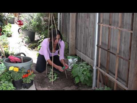 How to String Up Sugar Snap Peas : The Chef's Garden