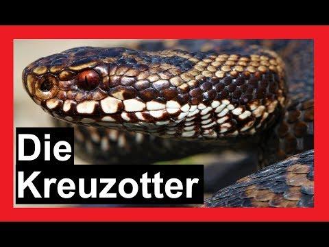Schlangen in Deutschland | Die Kreuzotter | Reptilien und Amphibien Folge 9