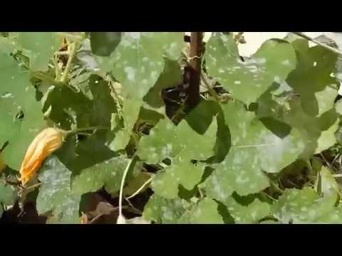 White Spots Appear On Squash Plants After It Rains?