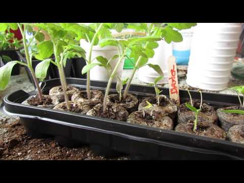 Garden Pests! Identifying and Treating Aphids on Seedlings: Soapy Spray! - MFG 2014