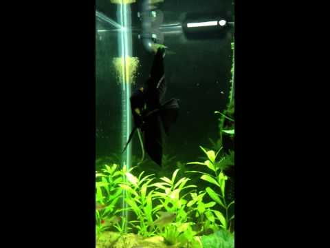 Angel fish spawning by itself ?