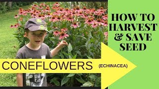 HOW TO COLLECT AND SAVE CONEFLOWER SEEDS (ECHINACEA)