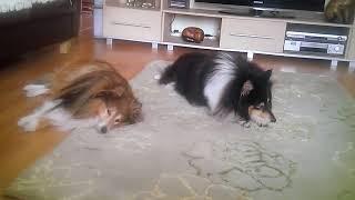 Sheltland sheepdogs Taylor and Simba funny wake up call