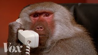 The most famous baboons on the internet
