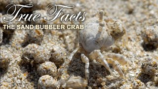 True Facts : The Sand Bubbler Crab