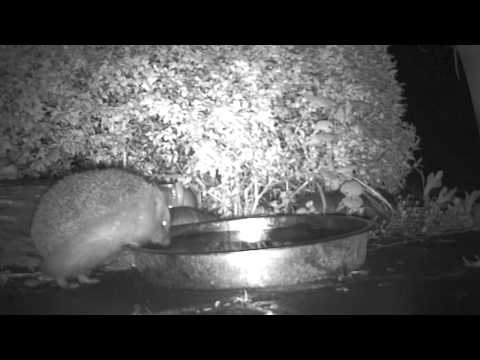 Hedgehog drinks and shakes itself off