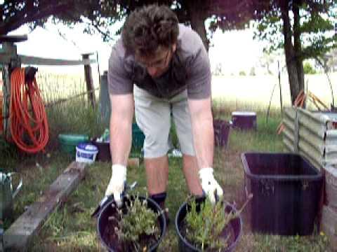 pruning lavender
