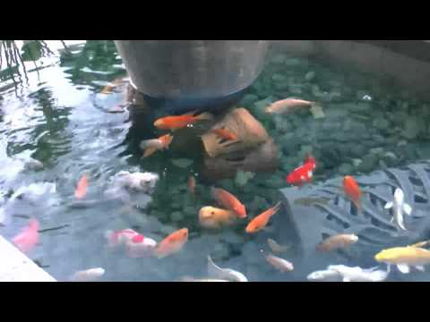 Fish Pond and Dorje (a type of Koi known as Ginrin Chagoi)