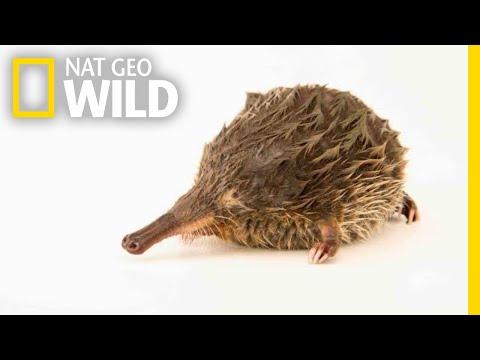 This Tiny Aquatic Mammal Has a Snorkel Snout | Nat Geo Wild
