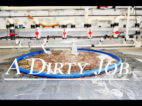 A Dirty Job - Cleaning  Oriental rug from urine odor