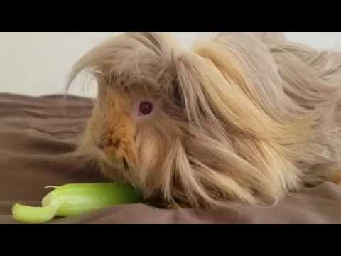 Introducing Brownie! (taking care of a guinea pig)