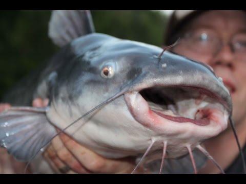 Catfishing tips - Catfishing with bluegill - fishing for catfish
