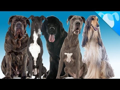 Top 5 Big Dogs for Small Apartments