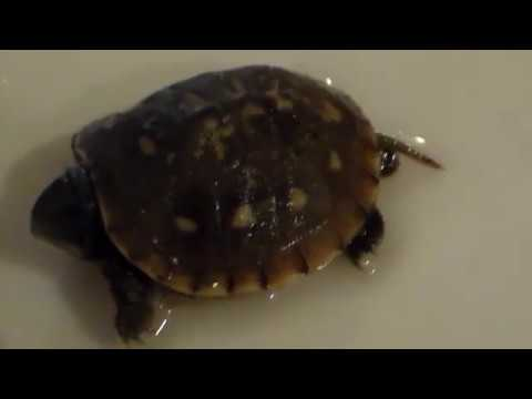 I found a Baby Box Turtle Hybrid Ornate/3toed. He hatched out Penis Fanning. A Studly Turtle.RIP !
