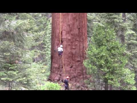 Cloning 3000 Year Old Giant Sequoias - Archangel Ancient Tree Archive.