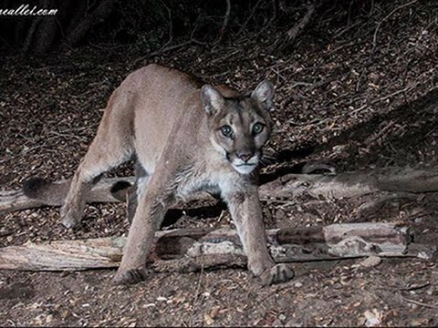 Hobbyists Hunt Mountain Lions With Cameras
