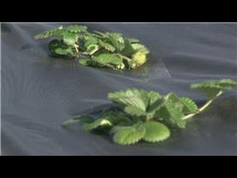 Food Gardening : How to Kill Pests in a Strawberry Garden