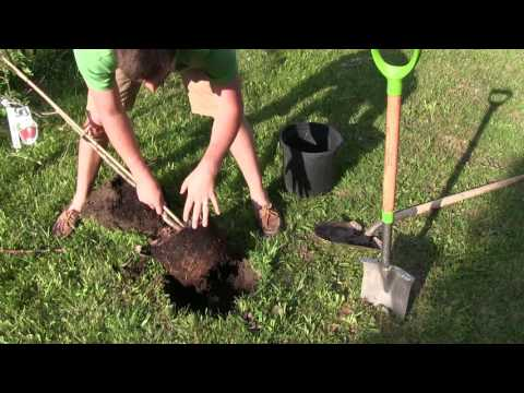 The Correct Way to Transplant Fruit Trees