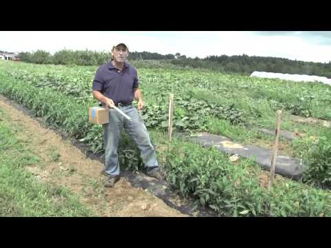 How to Grow Tomatoes:  Basket Weave