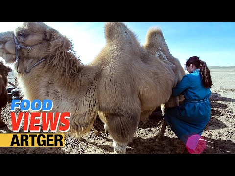 Drinking Camel's Milk - A Way Of Life In The Gobi | VIEWS