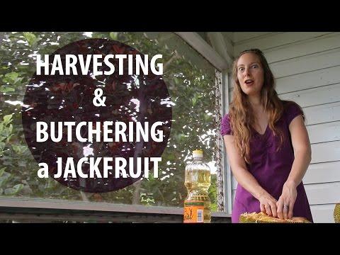 Harvesting and Butchering a Jackfruit (TCEG Episode 11)