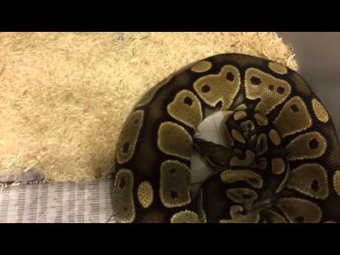 Quick breeding season update ball pythons