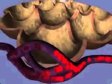 Gaseous exchange between alveoli and capillaries
