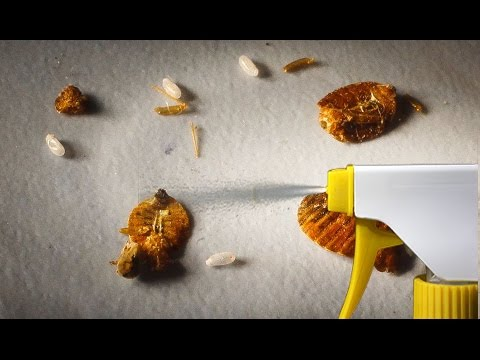 The Strongest Natural Home Remedy to Get Rid of Bedbugs