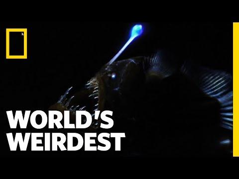 Weird Killer of the Deep   World's Weirdest