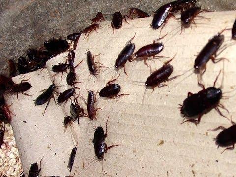 Homemade Cockroach Bait