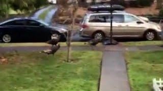 Lucky turkeys skip town