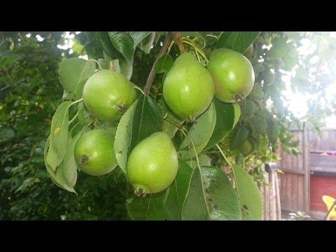 🍐 Flower to Fruit ᴴᴰ   Pear tree development 2013