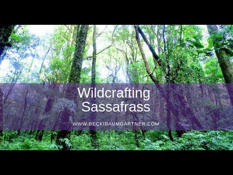Wildcrafting Sassafras (Sassafras albidum) - Nashville Reiki & Oils