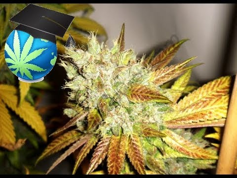 Learn To Spot Heat or Cold Stress In Cannabis Plants + Advanced Temp Tricks