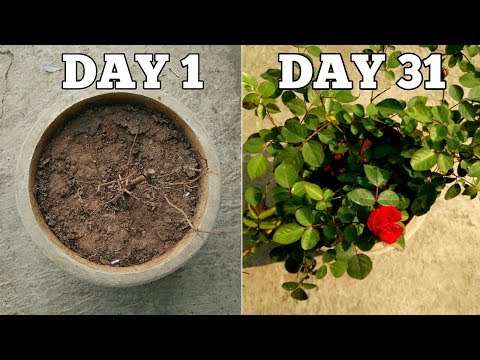 WATCH WHAT HAPPENS WHEN YOU REPOT YOUR ROSES LIKE THIS