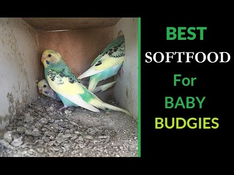 Best Soft food for Baby Budgies 🍚