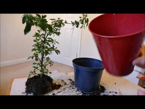 Renewing My Chilli Plant's Compost 2017