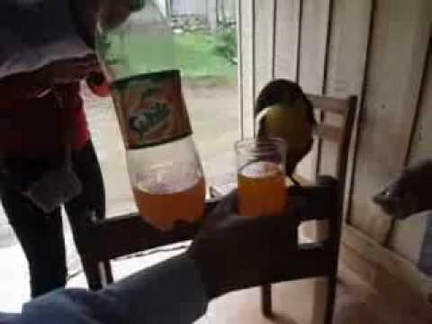 Toucan drinking soda!