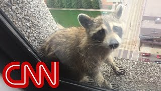 Raccoon climbs 25-story building, goes viral