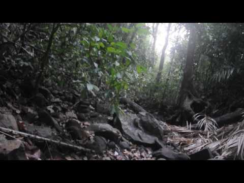 Dawn chorus of gibbons in Cambodia