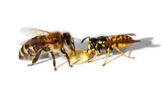 Download How to Treat Bee and Wasp Stings - Wasp Sting Treatment Video