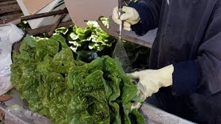 Romaine lettuce warning after E. coli outbreak
