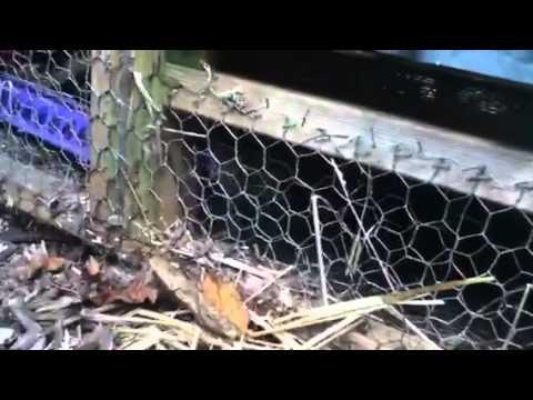 Huge Snake In The Chicken Coop!