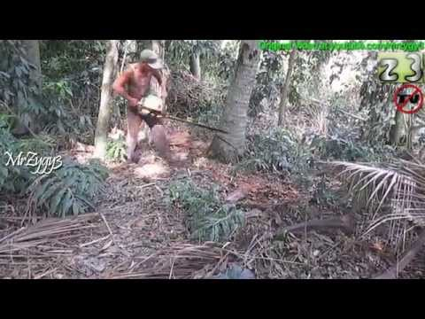Chainsaw Falling Down Coconut Tree