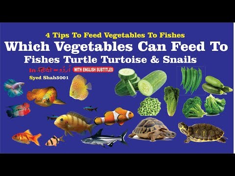Fish Eating Vegetables How to Feed your Fish Vegetables which veggies can feed to fish & turtle
