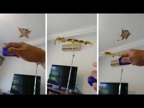 Animal Lover Trains Her Sugar Gliders