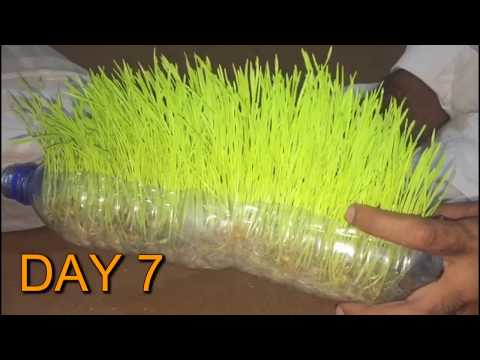 HOW TO  GROW WHEAT GRASS IN A BOTTLE  001